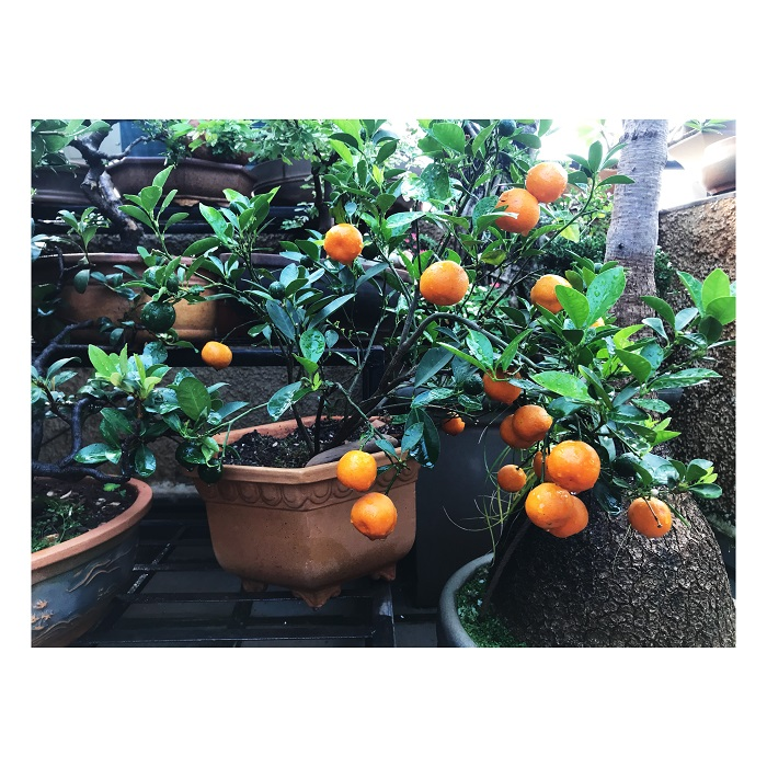 The bonsai oranges can be eaten but they are a bit sour so the family uses it for desserts or drinks.